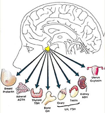 pituitary gland tumor | houston methodist, Cephalic Vein