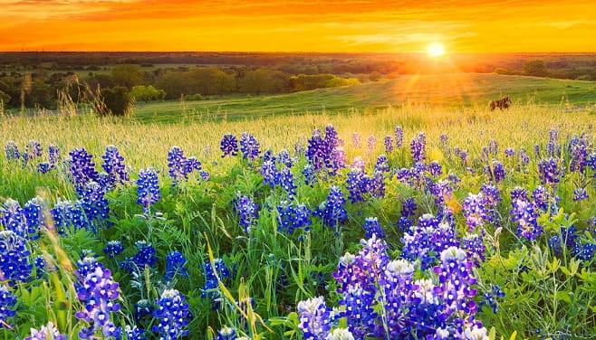 Field_Bluebonnets_471814296